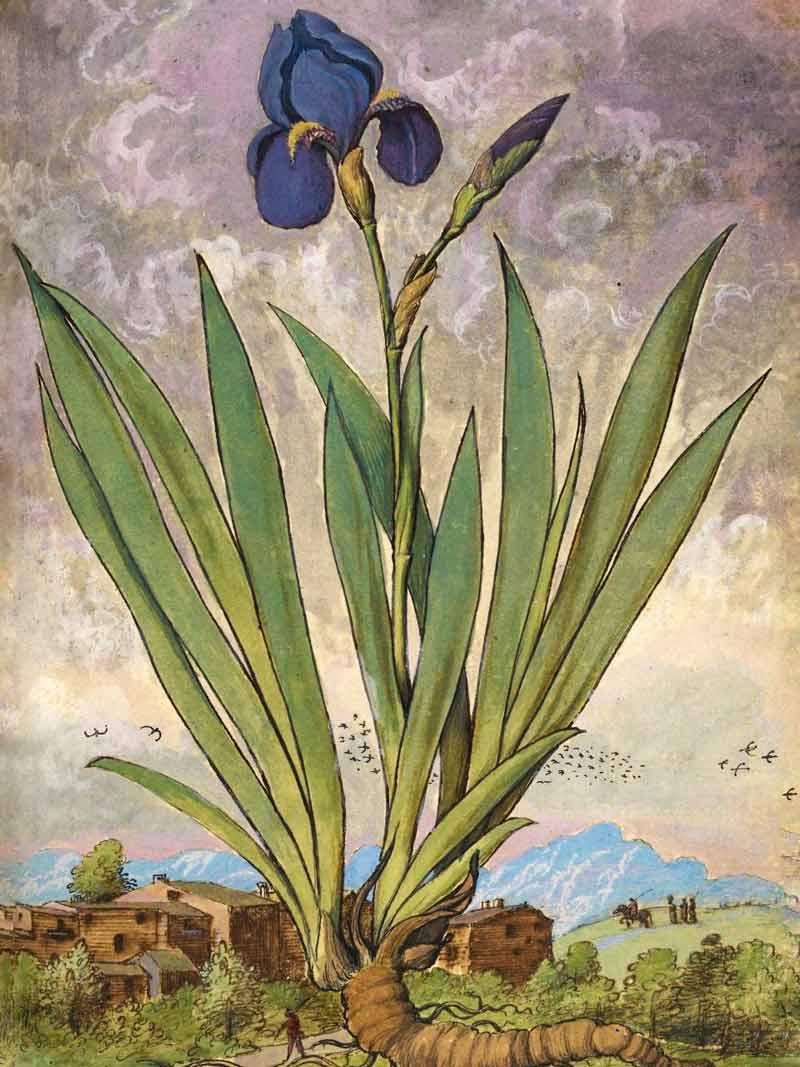 Gherardo Cibo, Iris, dal De Materia Medica